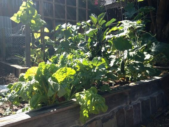 Swiss chard, kale, eggplant, cucumbers growing
