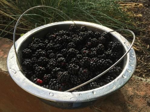 picking fresh blackberries