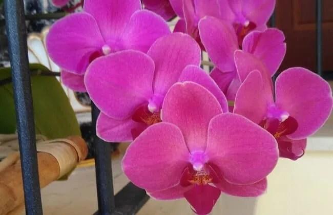 Le Orchidee, anatomia.