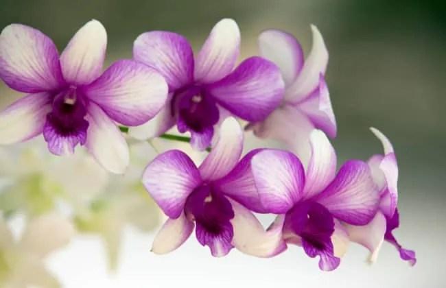 Orchidee, le cure estive.