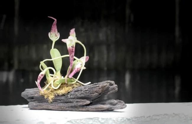 Coltivare Orchidee su corteccia e sospese.