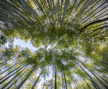 Intriguing facts about bamboo