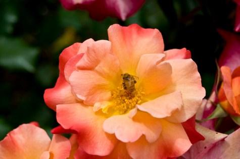Worker Bee collecting pollen