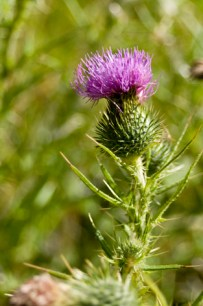 Scotch Thistle Detailed photo of flower head