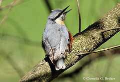 song birds photo