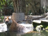 Very little zoom used on this photo. Those tigers are actually that close.