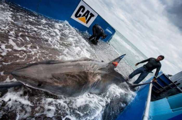 Lydia, the great white shark. Photo from ocearch.org