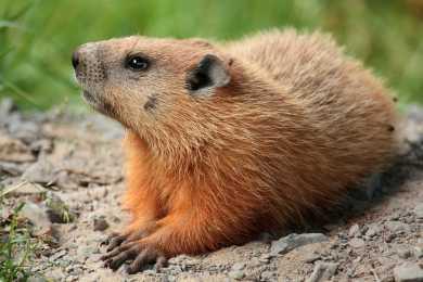 A groundhog. (Not necessarily Punxatawney Phil.)