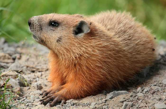 A groundhog. (Not necessarily Punxatawney Phil.)