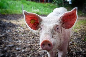 What I Learned from Arguing with a Pig Farmer