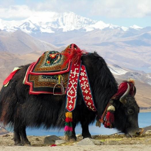 Tibet öküzü, yak