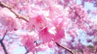2016年初桜