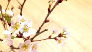 家に飾ってある桜の花