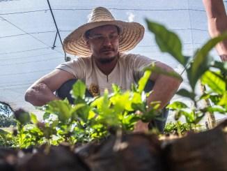 homem camponês da agricultura familiar com chapéu de palha cuida de mudas dentro de uma estufa de produção de alimentos