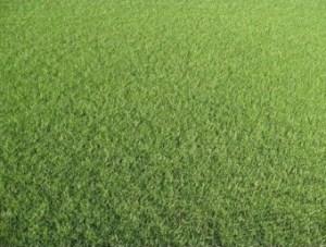 Fijngras