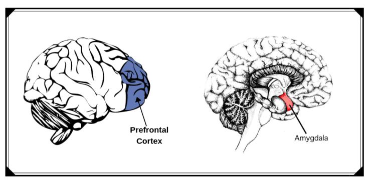 Prefrontal-Cortex & Amygdala