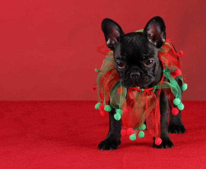 Wacky Christmas Costumes, Christmas Pug