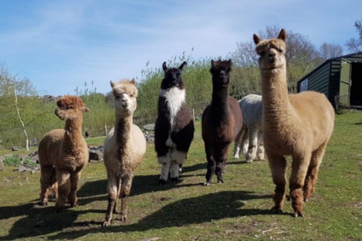 Holly Hagg Alpaca Farm UK