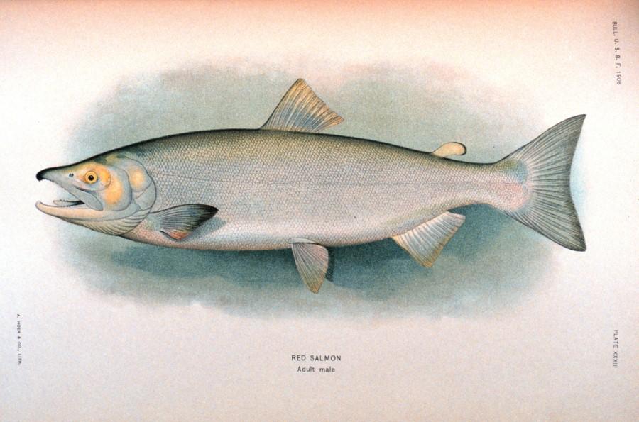 Red or Sockeye Salmon drawing