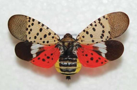 How to fight against the spotted lanternfly in Union County