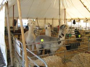 The cutest alpacas - I think
