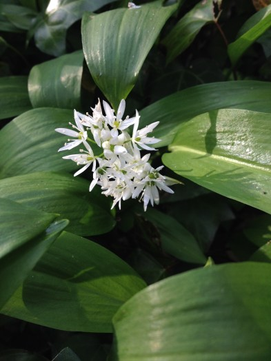 Ramson, or Wild Garlic