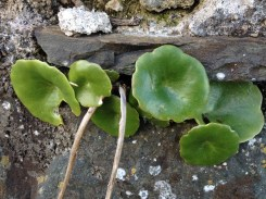 Wall Pennywort