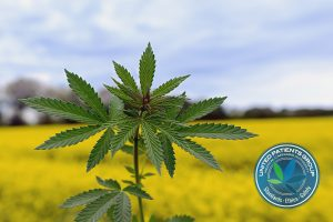 Marijuana plant at outdoor cannabis farm field