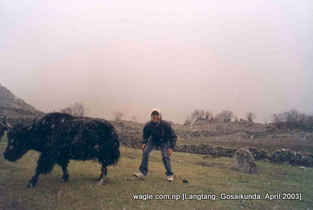 yak in langtang and snowing