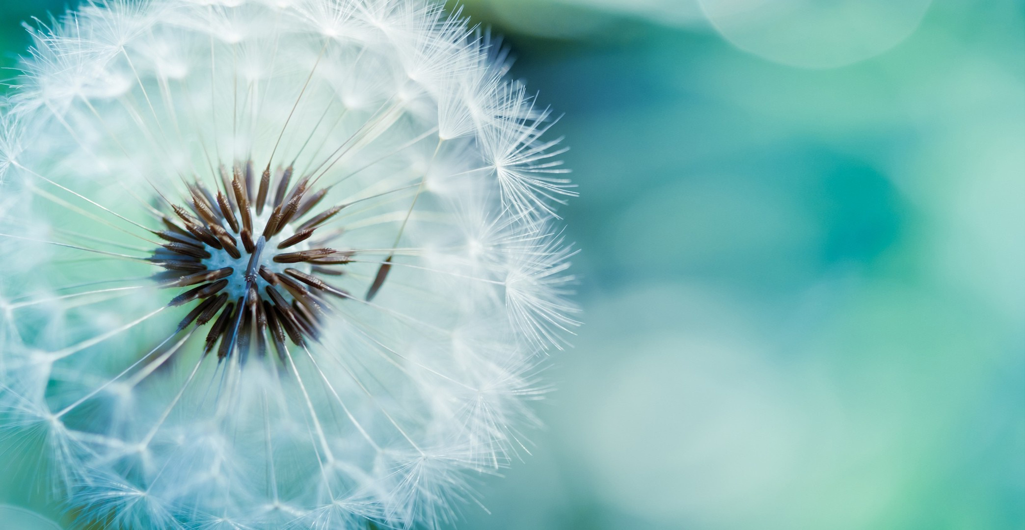 dandelion-flower-hd-wallpapers – unity of hilton head