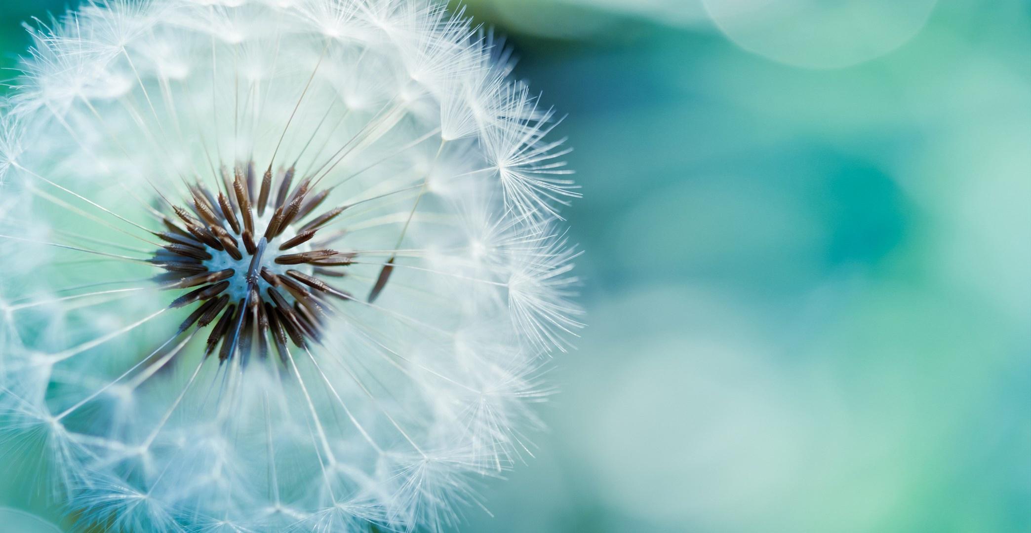 dandelion-flower-hd-wallpapers – unity of hilton head