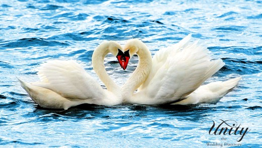 Swans in Love on the lake