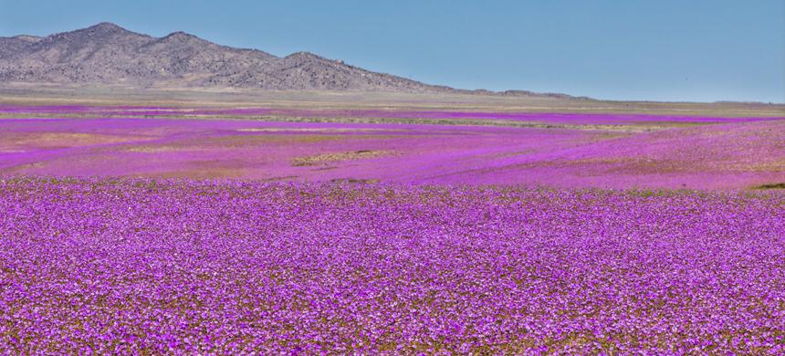 El desierto que florece
