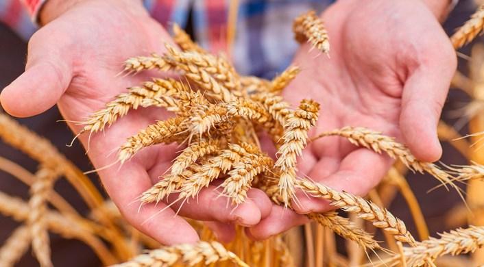 ¿Cizaña o trigo?