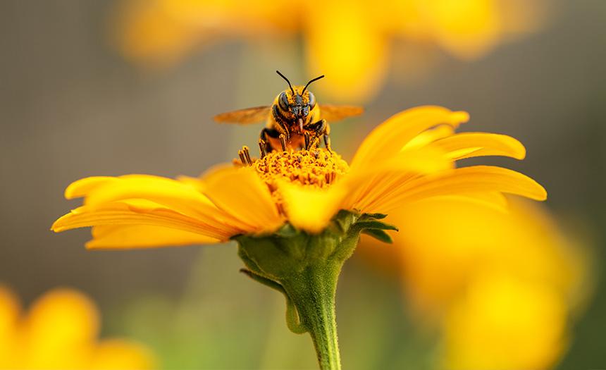 Las abejas: esenciales para la diversidad en la Tierra