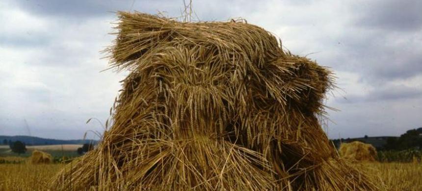 Costumbres de la Biblia: Separando la cizaña del trigo