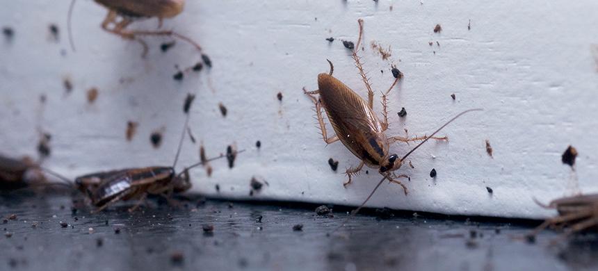 Cucarachas, ratones, chinches… molestas plagas que invaden los hogares