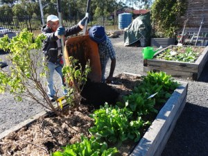 Two men tending a raised garden bed in a community garden. One is tipping up a wheelbarrow and the other is scraping out the soil