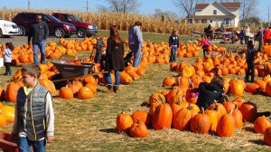 People are looking at bright orange pumpkins piled in rows in a field on a farm