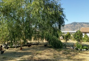 A weeping willow tree shades the free range chickens. The house is hidden behind bushes and there are hills in the background.