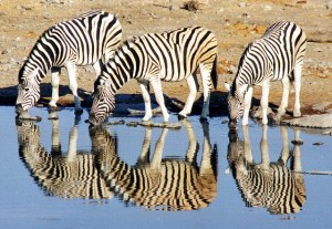 Three zebras are drinking from the edge of the water. Their reflections are easy to see.
