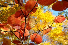 Stunning Fall colours - Otari Shinrin-yoku