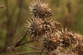 Семена репейника