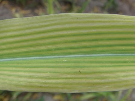 Дефицит железа у кукурузы