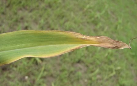 Дефицит калия у кукурузы