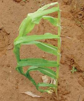 Дефицит кальция у кукурузы