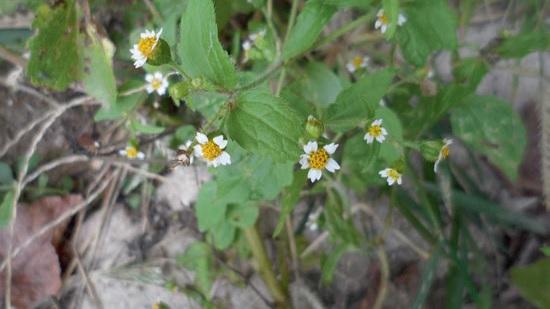 Цветки галинсоги мелкоцветной