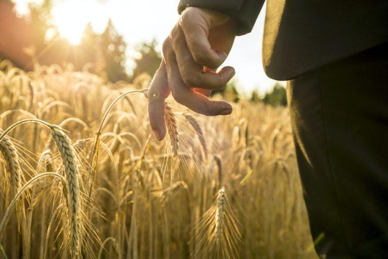 Businessman walking through a golden wheat field reaching down w