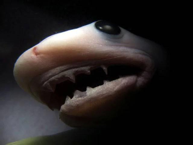 embrione squalo