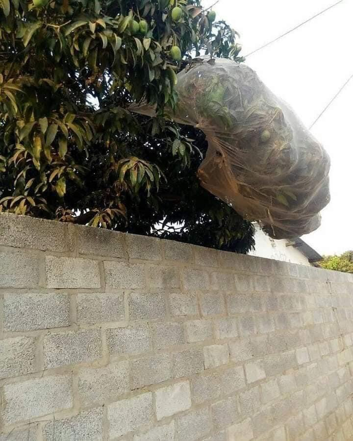 Weird Story: Twitter user Janet Machuka calls out Nigerian neighbors who SEALED their mango tree with a net to prevent fruits from being picked.